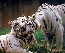 Violetpos Duschvorhang Paar Weißer Tiger Badezimmer vorhang für bad Badvorhang 180 x 180 cm