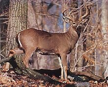Violetpos Duschvorhang Whitetail Buck Deer Badezimmer vorhang für bad Badvorhang 180 x 200 cm