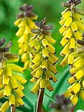 Virtue 10, BULBS: Grape Hyacinth Bulbs, Golden