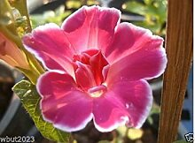 Virtue 10 Morning Glory Seeds -(Ipomoea Nil Red