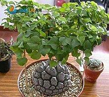 Virtue 10 Pcs/Pack Dioscorea Seeds, Tortoise Shell