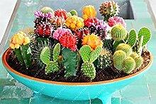 Virtue 100 Stück Mix Kaktus Samen t Seltene
