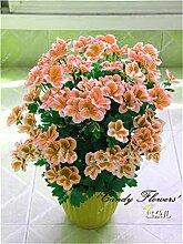 Virtue 100 Stücke Geranie Blume Seltene