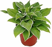 Virtue 100 Teile/beutel Hosta bonsai pflanze