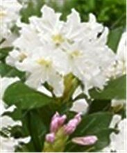 Virtue 100 teile/beutel Japanische Azalee Bonsai,