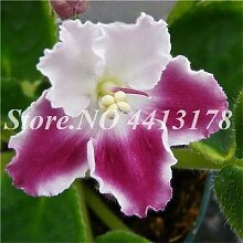 Virtue 150 Stücke Mini Bonsai Violet Seedss