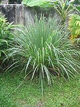 Virtue 200 Lemon Grass Seeds - Cymbopogon