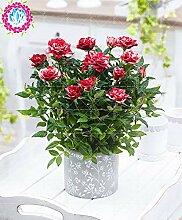 Virtue 200 stücke Schwarz Rose blau rose bonsai