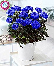 Virtue 200 stücke Schwarz Rose blue rose bonsai