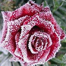 Virtue 200 stücke Seltene Mischfarbe Rose Samen