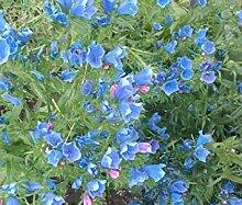 Virtue 250 Bulk Seeds VIPER'S BUGLOSS BLUE