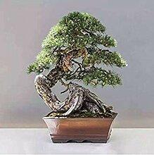 Virtue 30 juniper bonsai tree Seeds potted flowers