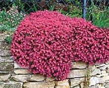Virtue 300 Aubrieta Seeds - Cascade Red - Flower