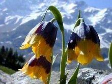Virtue 50 Fritillaria michailovskyi Bulbs -