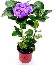 Virtue 50 Stück/Tasche Hortensia Bonsai Tohum