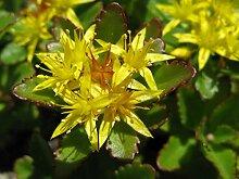 Virtue 500: Sedum Aizoon Seeds, Stonecrop