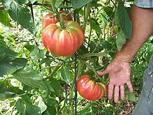 Virtue 500 seeds: Tomato Seeds, German Pink, Meaty