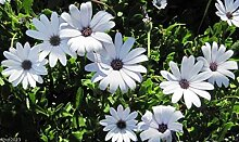 Virtue African Daisy Seeds - white,Perfect for