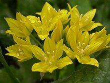 Virtue Allium moly, also known as golden garlic