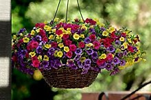Virtue Calibrachoa Paradise Island Flowers - The