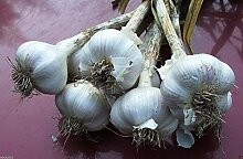 Virtue California White Garlic, for Planting (3