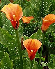 Virtue Calla Lily,Flame (2 Bulb) Ideal for Pots