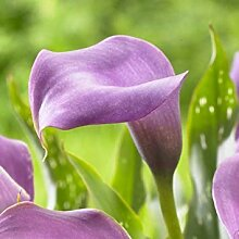 Virtue Calla Lily,Lavender (2 Bulb) Ideal for Pots