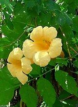Virtue Campsis radicans Seeds, Flava (Yellow