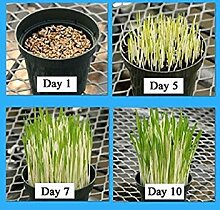 Virtue Cat Grass Variegated (1 oz seeds) A real
