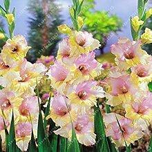 Virtue Echte Gladiolen, Blumenzwiebeln seltene