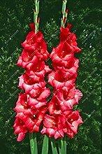Virtue Echte Gladiolenzwiebeln, Blumenzwiebeln