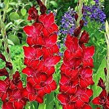 Virtue Echte Gladioluszwiebeln, Blumenzwiebeln