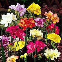 Virtue Freesia double flowering mix - 20 flower