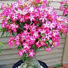 Virtue Genuine Desert Rose Seeds rare Adenium