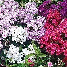 Virtue Giant Hardy Phlox Mix (5 Roots) Now Shipping