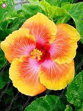 Virtue Hibiscus Bonsai riesige Pflanze Hibiscus
