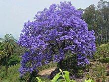 Virtue Jacaranda Tree Seeds, Jacaranda