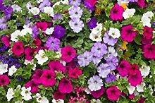 Virtue Petunia Flowers(Petunia nana compacta)