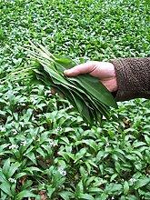 Virtue Ramsons, Allium ursinum (100 Seeds)