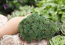 Virtue Sedum rubens lizard (200 Seeds) Great
