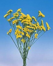 Virtue Statice Fortress Yellow 1,000 seeds