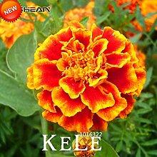 Virtue Time-LimitRed Gelbe Rand Maidenhair Blume