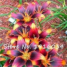 Virtue Ture Amaryllis Zwiebeln Hippeastrum Blume