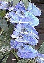 VISA STORE Aconitum Monkshood Napellus Newry Seeds
