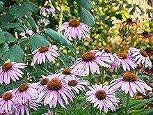 VISA STORE Echinacea - Cone - Seed