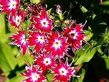 VISA STORE Rote und gelbe Akelei 20 Samen