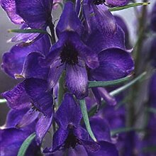 VISA STORE Seeds - Aconitum carmichaelii Var.