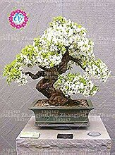 Vista 10 stücke seltene weiße jasmin samen