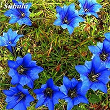 Vista 100 Stücke Largeleaf Enzian Blau Samen
