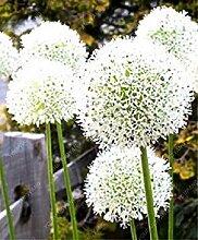 Vista 100 stücke Riesen Zwiebel Samen Weiß